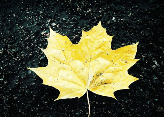 Autumn Leaf on Tarmac