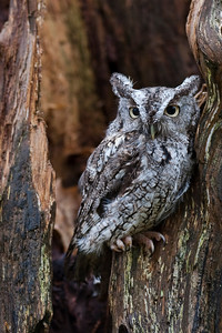 Saw-Whet-Owl Examples of Super Excellent Photography